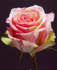 Bicolor Roses Fiesta