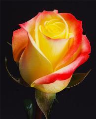 Bicolor Roses Florida