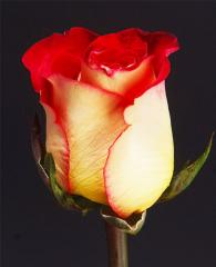 Bicolor Roses Frienship