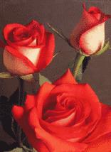 """Bi - Color Roses """"Tango"""""""