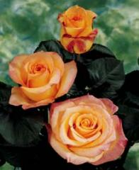 "Bi - Color Roses ""Latin Beauty """
