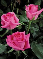 "Rosas Hot Pink ""Topaz"""