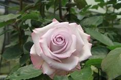 """Rosas Bicolores """"Ocean Song"""""""