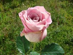 """Rosas de color Lavander """"Faith"""""""