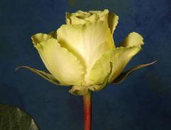 """Rosas de color verde """"Limbo"""""""