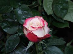 """Rosas Bicolor """"Sweetness"""""""