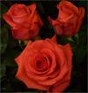 """Rosas Naranjas """"Impulse"""""""