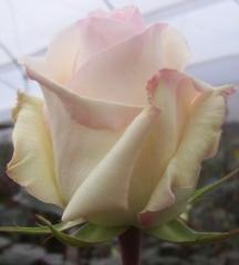 "White roses ""Anastacia"""