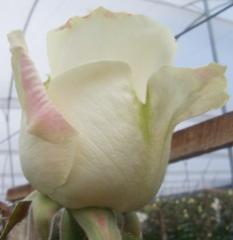 """White roses """"Avalance"""""""