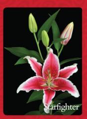 Liliums Orientals