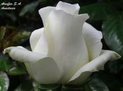 Rosas de color Blanco