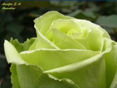 Rosas de color Verde