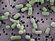 Bacterias Benéficas Lactobac
