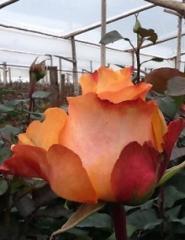 "Rosas Bicolores ""Capitano"""