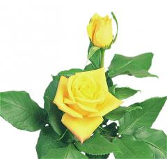 Yellow Roses Aalsmeer Gold