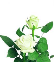 White Roses Akito