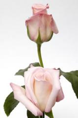 Light Pink Roses Anna
