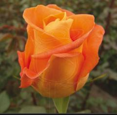Rosas de Color Naranja