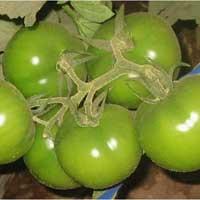 """Semillas de Tomates """"Titán Híb."""
