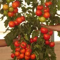 "Semillas de Tomates ""Lumi Híb. F1"