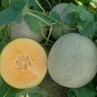 """Semillas de Melones """"Western Gold Híb. F1"""