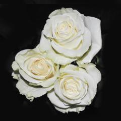 White, Cream Roses