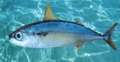 Morenillo / Blue Makarel