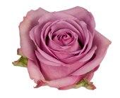 "Lavender  Roses ""Cool water"""