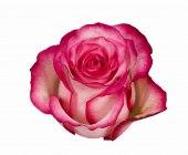 Dark Pink - Cream Roses