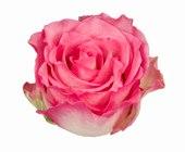 "Cream - Pink Roses ""Malibu"""