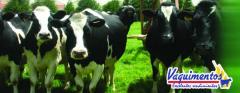 Alimentos Balanceados para  Vacas Lecheras