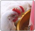 Programa de alimentación para pollos de engorde