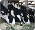 Alimentación para ganado de leche