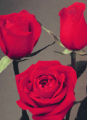 "Red Roses ""Classy"""