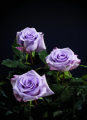 "Lavender/Purple Roses ""Ocean Song"""