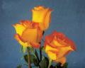 Bi - Color Roses