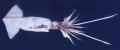 Calamar Gigante  Jumbo Flying Squib