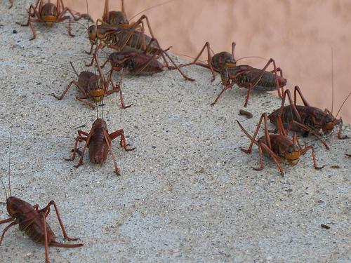Pedido Control De Grillos, Culebras