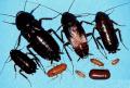 El Control de Cucarachas